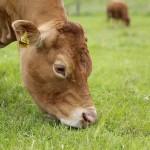 cow-630873_640